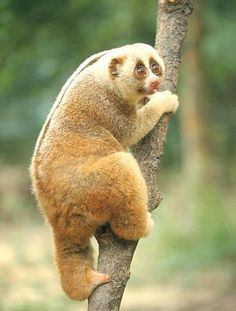 Slow Loris....beautiful animal.  People need to stop buying these animails from pet trades, those trade people are cruel to them as they are only money to them.