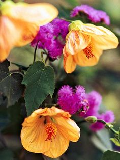 This annual plant pairing pulls together the fuzzy blooms of 'Blue Horizon' and the flowering maple's orange blossoms. More annual plant pairings: http://www.bhg.com/gardening/flowers/annuals/annual-plant-pairing-ideas/?socsrc=bhgpin061513orangeandpurple=7