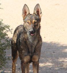 www.elitek-9.com/   #malinois #malinoisofinstagram #maligator #executiveprotectiondogs #exotics Executive Protection, Malinois, Working Dogs, Dog Training, Kangaroo, Puppies, Animals, Baby Bjorn, Cubs