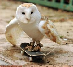 One day, an owl landed on a skateboard that was left outside, and the owl stayed on as the board moved. Brian saw that the owl was enjoying the skateboard experience and so he bought the owl his own miniature board. Funny Animal Photos, Funny Animals, Cute Animals, Animal Pics, Funniest Animals, Funny Owls, Animals Photos, Beautiful Owl, Animals Beautiful