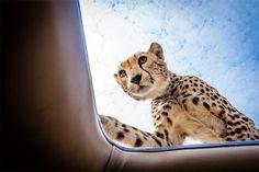 Встреча любопытного гепарда и фотографа | Lettermatter
