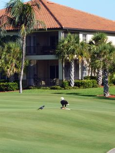An eagle -having breakfast on the golf course #travel #Florida #smileshare