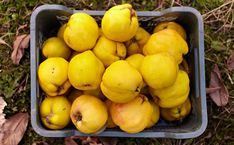 In Season: Quince - Modern Farmer with membrillo recipe Membrillo Recipe, Quince Fruit, Modern Farmer, Sweet Cooking, Edible Gifts, Canning Recipes, Fall Recipes, Mexican Food Recipes, Food To Make