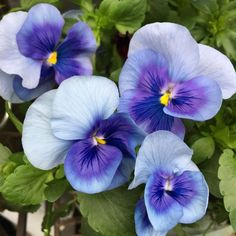 Primroses, Pansies, Rainbow, Pansy Flower, Spring, Plants, Color, Lifestyle, Exotic Flowers