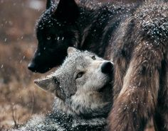 sawtooth pack | Sawtooth Pack Wolves
