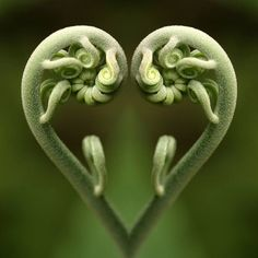 La magie de Fibonacci dans la nature, les maths de Dieu … The magic of Fibonacci in nature, the maths Heart In Nature, Heart Art, Fern Frond, In Natura, I Love Heart, No Photoshop, Foto Art, Sacred Geometry, Amazing Nature
