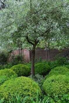 Bildresultat för beskära silverpäron