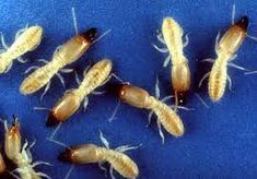 We must have seen them crawling on our fences already, but we just shrug our shoulders and say, 'ah, harmless white ants! So, what we should all do is to read this 5 easy steps to know if it's worth your pest-control spray. Types Of Bugs, Types Of Insects, Bug Control, Pest Control, Organic Soil, Organic Gardening, Termite Control, Pest Management, Beneficial Insects