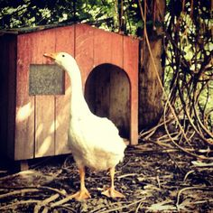 Goose #pet #garden #country #Dozza #oca #giardino #goose #Italy #nature #animal