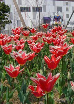 Tulip 'Pirand'