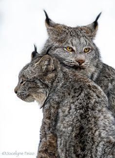 Canada Lynx - null