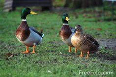Ducks vs Geese | kitten and ducks duck baby ducks duck says no mba0534l bgr poprock 006 ...
