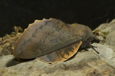 Moth, Insects, Animals, Animales, Animaux, Animal, Bugs, Animais