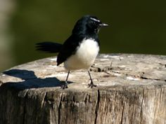 My favourite bird.. the willy wagtail.. charmingly cheeky...and they seem to follow me wherever I go... For *W*
