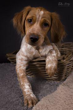 Kittens And Puppies, Cute Puppies, Cute Dogs, Best Dog Breeds, Best Dogs, Dogs Golden Retriever, Retriever Dog, Working Cocker, Dog Corner