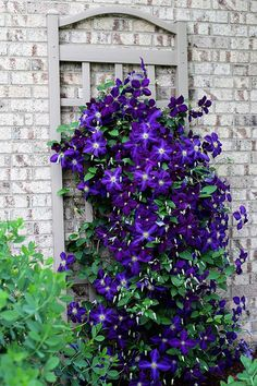 Thanks to its wide and impressive flowers, Clematis belong to the classical ornamental plants and at the same time its ability to grow quickly with healthy flowers, ranks it at the top of the climbing plants. Climbing Clematis, Clematis Trellis, Clematis Plants, Climbing Flowers, Rock Climbing, Wall Trellis, Ornamental Plants, Flowering Vines, Garden Planning