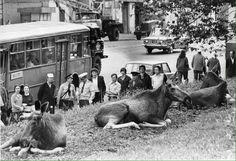 """Лоси на Преображенской улице, недалеко от парка """"Сокольники"""". Москва, 1970-80ые годы"""