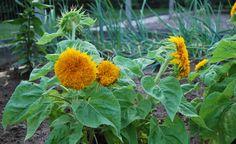 l'ortodimichelle: consociazione d'ortaggi: piante repellenti come vere bodyguard