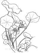 Golden Poppy or California Poppy Coloring page | Free Printable Coloring Pages