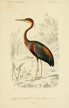 img/dessins couleur oiseaux/dessin oiseau 0285 heron pourpre - ardea purpurea - echassier.jpg