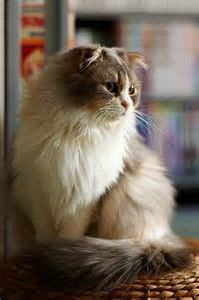 Pretty Scottish Fold Cats