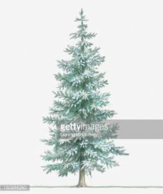 Stock Illustration : Illustration of evergreen Picea pungens (Blue Spruce) tree