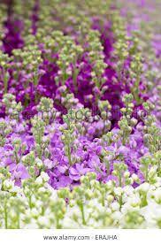 Image result for purple snapdragons
