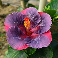 Taiwan Hibiscus - Linda Lee Blue Hibiscus, Hibiscus Flowers, Tropical Flowers, Planting Flowers, Flowers Garden, Orchids, Plants, Taiwan, Garden Ideas