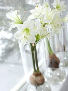 ~ amaryllis for simple Christmas decor, brilliant tall vases to keep them from falling over.