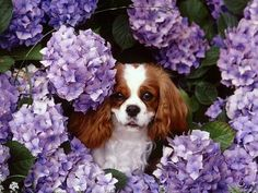 Precious Cavalier King Charles Spaniel amid the hydrangeas.