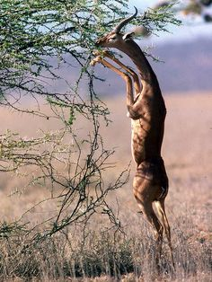 Gerenuk - the name means 'neck like a giraffe'.  They can stand on their hind…