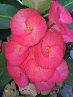 Flores de color intenso y textura suave pero firme.Son parte de la flora de mi casa.  O c