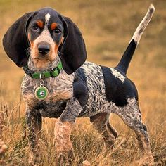 beautiful bluetick coonhound pup!