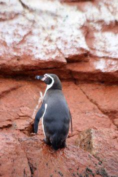 Pinguinos @ the Islas Ballestas in Peru