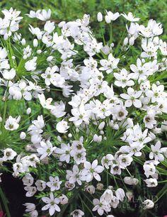 /\ /\ . Allium neapolitanum (White garlic)