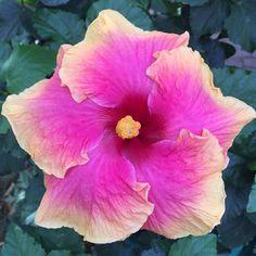 Sunset Glory - Hibiscus