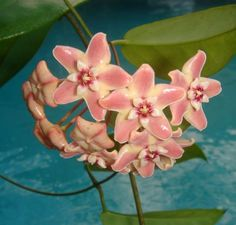Hoya subcalva Cutting [IML 0229] - $16.00 : Buy Hoya Plants Online in Many Species from SRQ Hoyas Today!
