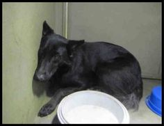 11/10/17 A scared German shepherd, estimated to be just a year of age, is currently being held at the Riverside County Animal Control facility in California. The dog, whose name is unknown, was taken in at the animal control facility on November 9 and she will be available for rescue or adoption on November 15, if …