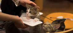 """Only in Japan...I love this: """"Japan hosts numerous cat cafés that invite people to drink coffee in the relaxing company of friendly cats. Guests may bring their own toys to play with cats and surf the Internet, play Nintendo Wii or order another drink when they prefer a break from petting the cats."""""""