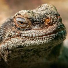 A Desert Iguana smiling for the camera  . #wildlife #nature #fall #wildlifelover #toronto #torontozoo #reptile #gf_wildlife #free #HashtagStepOutBuffalo #veganism #chooselife #animals #animalwelfare #travelbuff #instafollow #wild #respectlife #animalrights #beautiful #enjoy #life #zoo #travelbuf #lizard #lizardsofinstagram #beauty