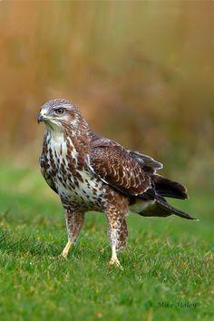 Common buzzard (Buteo buteo) throughout Europe and Asia Cardinal Bird House, Cardinal Birds, Buse Variable, Common Buzzard, Red Tailed Hawk, Kestrel, World Of Color, Birds Of Prey, Raptors