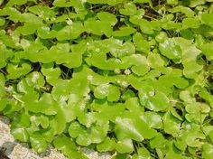 'Brahmi' or 'Indian pennywort' is the small creeping herb with numerous branches.  Brahmi is used for the treatment of bronchitis, chronic cough, asthma, hoarseness, arthritis, backache, blood cleanser, hair loss, fever, mental and physical fatigue.  It stimulates the growth of skin, hair and nails.  Brahmi is rich in Vitamin C and can be used in salads, soups and sandwiches.  To treat dandruff, apply the juice of Brahmi leaves onto the scalp.   Keep it for 30 minutes and then take a bath.