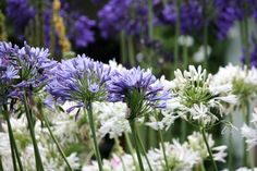 LIKE: Agapanthus. This perennial is indigenous to South Africa, and is available in white or blue blooms as well as in dwarf forms. It is by far one of the easiest plants to grow and can be planted in semi-shade or full sun and also makes for a very attractive summer display when planted in large quantities. - See more at: http://www.windywillows.co.za/perennial/#sthash.l5heW0g6.dpuf