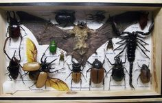greatsupplysure at ebay (a Thai company) sells these taxidermy bat and insect boxes. Sherlock has one on his mantle. Be careful-- the sellers say the mothball smell fades over time! $39.00