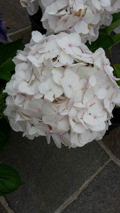 Hydrangea macrophylla Mme Emilie Mouliere
