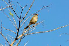 Foto sabiá-do-banhado (Embernagra platensis) por Ivan Angelo | Wiki Aves - A Enciclopédia das Aves do Brasil
