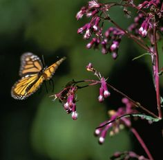 A monarch butterfly alights on a flower at a butterfly reserve in central Mexico. The butterflies' numbers have declined fairly significantly in the last two decades due to deforestation and because of the destruction of the only plants where monarchs lay their eggs — milkweed.
