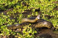 Anaconda (Eunectes murinus) by Fernando Flores cc2.0 Growing over 30 feet (9 meters) long and weighing over 500 pounds (227 kilograms), the green anaconda is the world's largest snake and it lurks in the Amazon River, lying in wait for prey. Because of its size, the green anaconda is awkward on land, but in the water it can move stealthily and quickly, striking at anything it knows it can overpower — jaguars, caimans, wild pigs, deer and even humans, especially children.