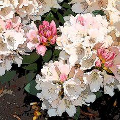 'Rhododendron-Blüten - 1 von 4' von Dirk h. Wendt bei artflakes.com als Poster oder Kunstdruck $18.03
