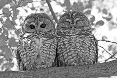 Owl. Совы